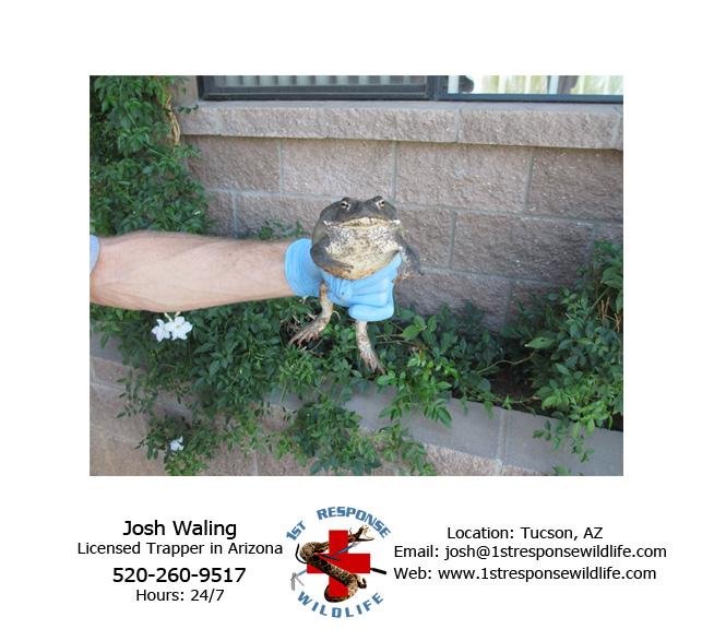 Colorado River Toad Removal 1st Response Wildlife
