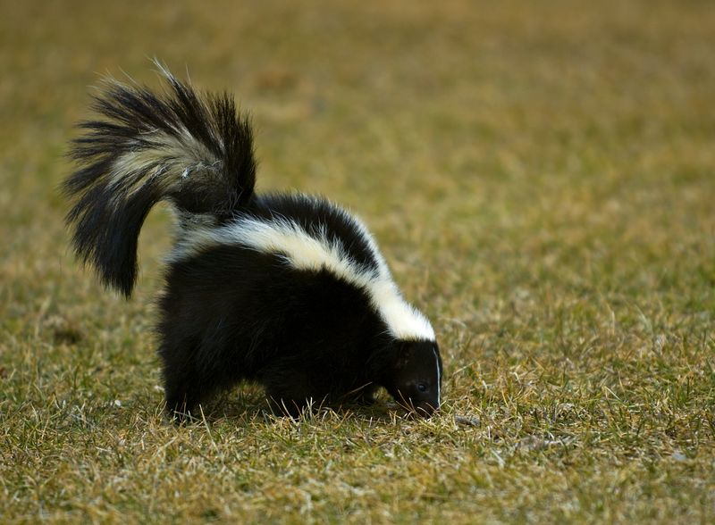 98702128 striped skunk