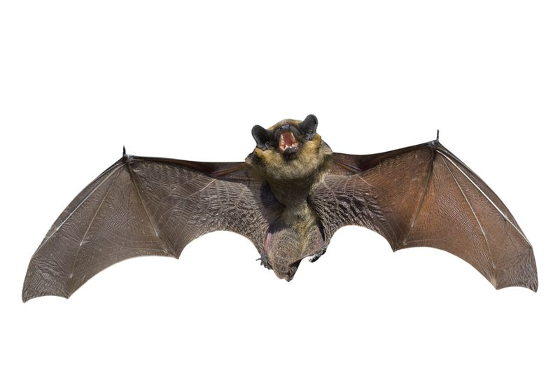 176958570 Bat in flight