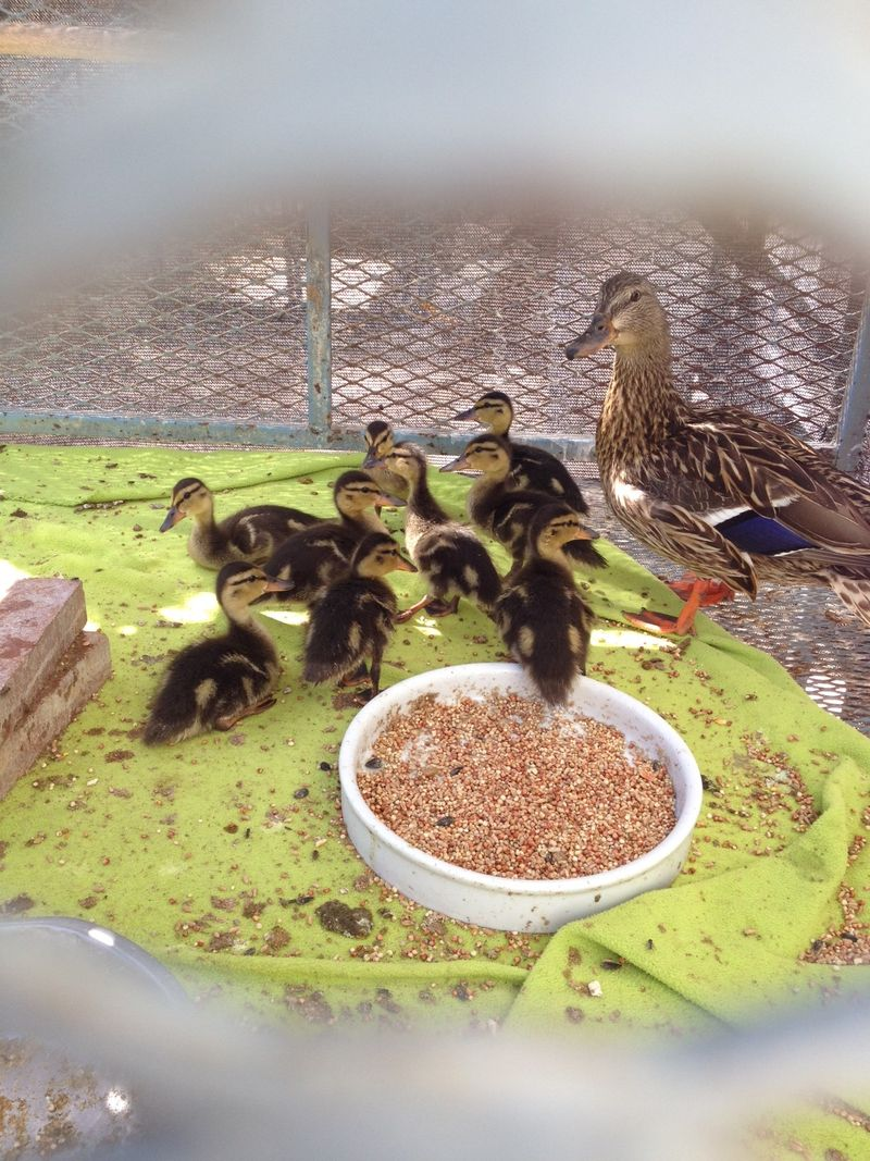 Mother Mallard with rescued ducklings at rehabber (2)