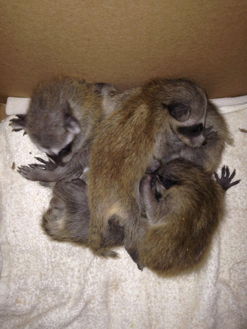 Spring litter of raccoons-5