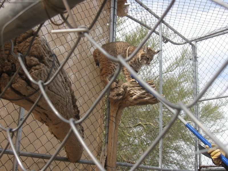 Noose around Bobcat at Rehabbers