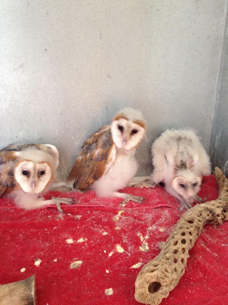 Juvenile Barn Owls 1