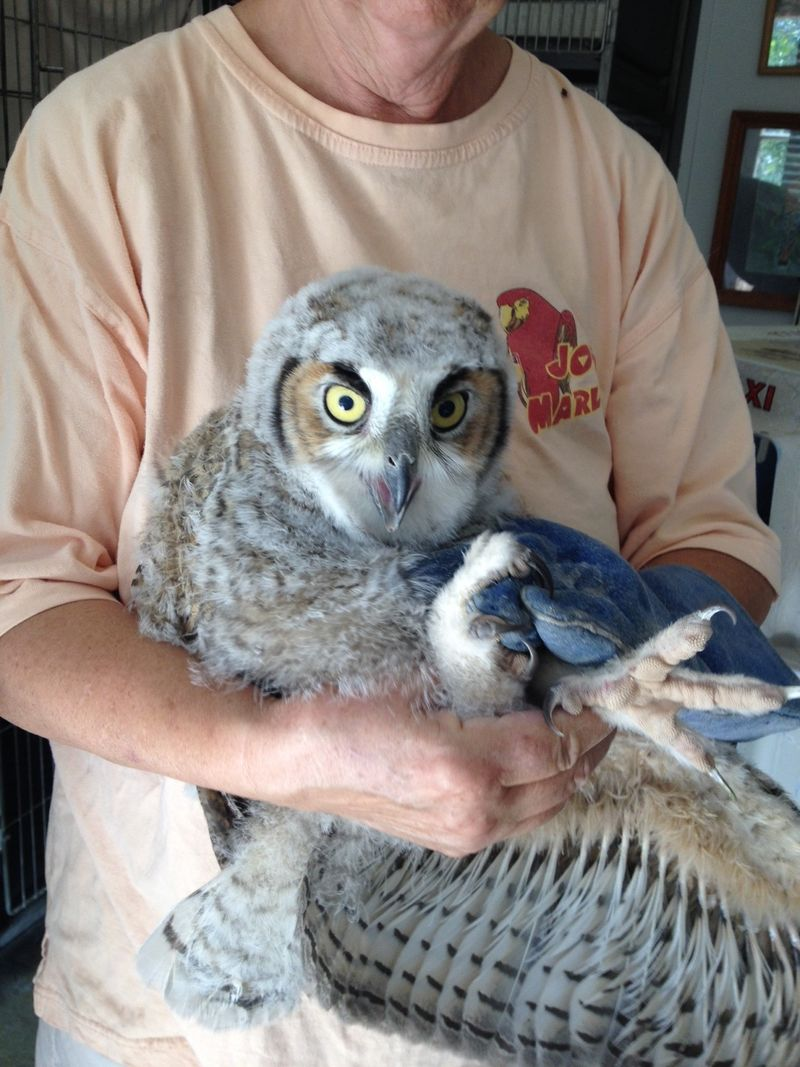 Juvinile Great Horned Owl being examined by rehabber
