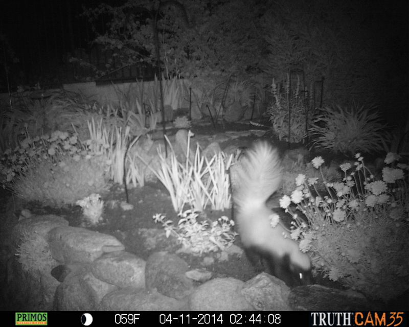 Hog-nosed skunk captured with motion detection camera in flower garden