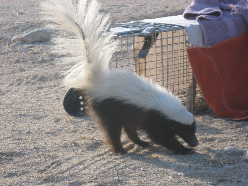 Hog-nosed skunk outside the trap
