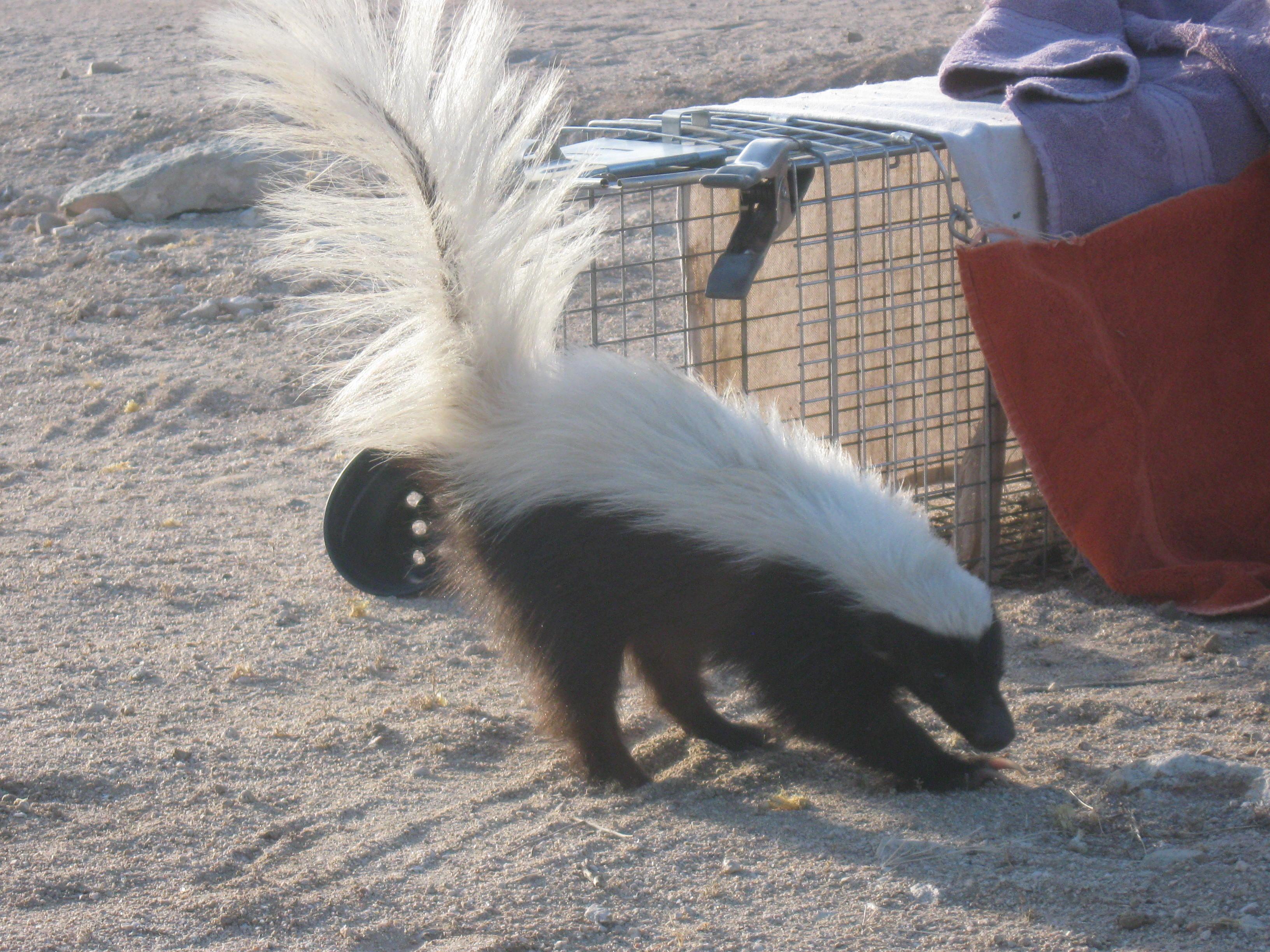 1st response wildlife tucson u0027s humane animal trapping u0026 removal