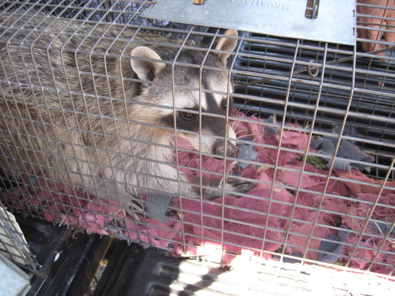 Racoon in trap (2)