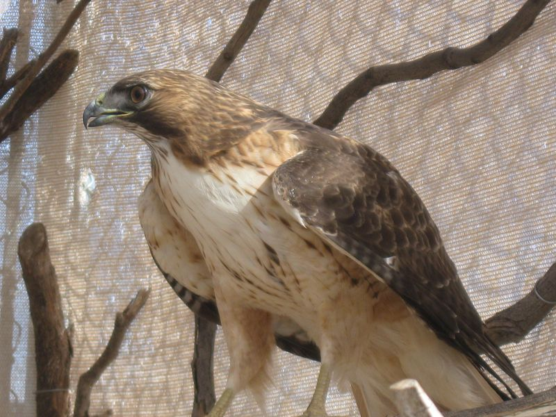 Redtailed hawk 4