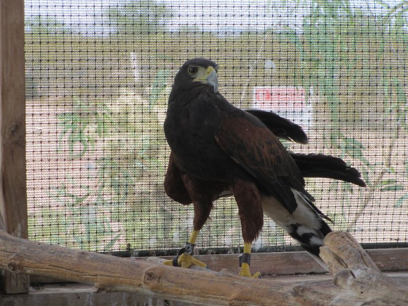 Harris Hawk in Rehab