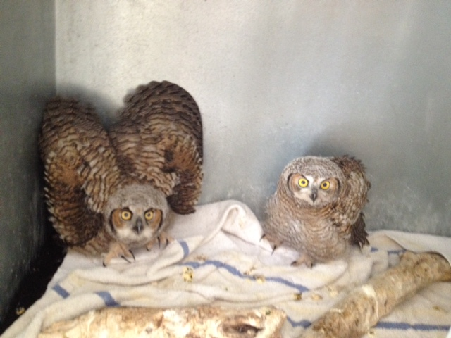 Two additional Juvenile Great Horned Owls at the rehabbers3