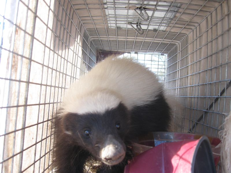 Hog-nosed skunk in trap