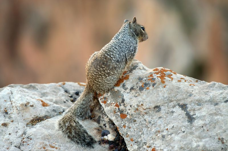 Rock Ground Squirrel