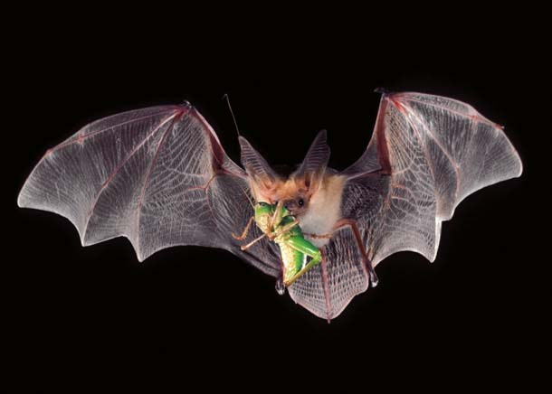 Bat-eating-insect-green-cricket