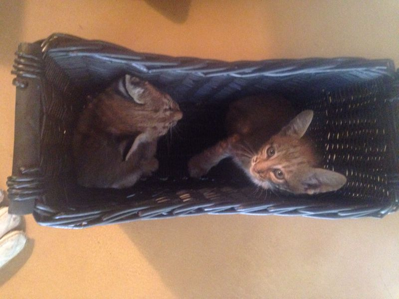 Two of three bobcat kittens in a basket