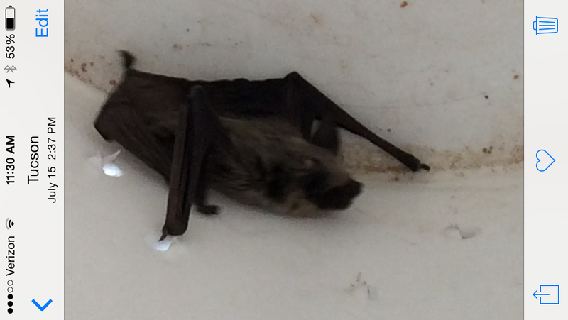 Mexican Free Tail bat enlarged