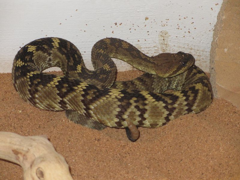 Black Tailed Rattlesnake darker coloration