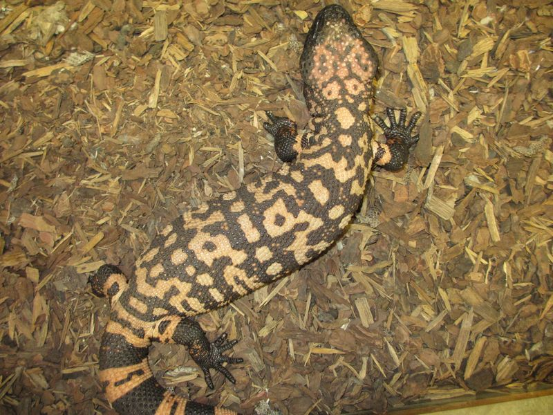 Gila Monster well fed (2)