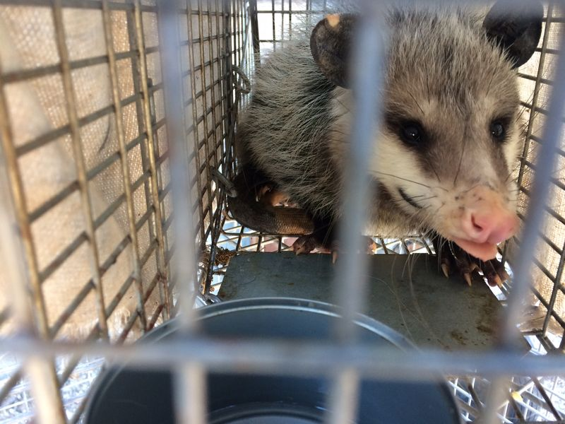 Opossum in trap (2)