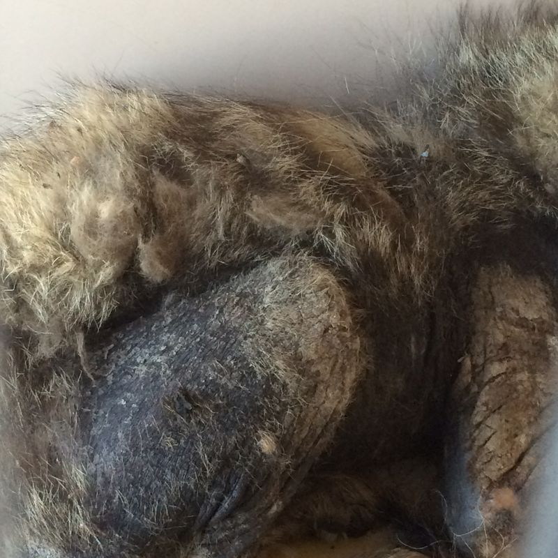 Mange-Scabies on hindquarters of Coyote
