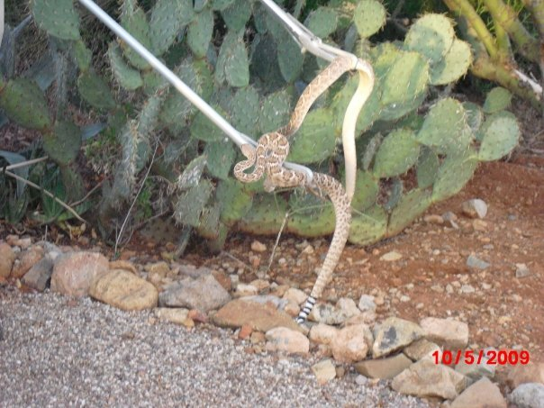 Moving two rattlers away from the house