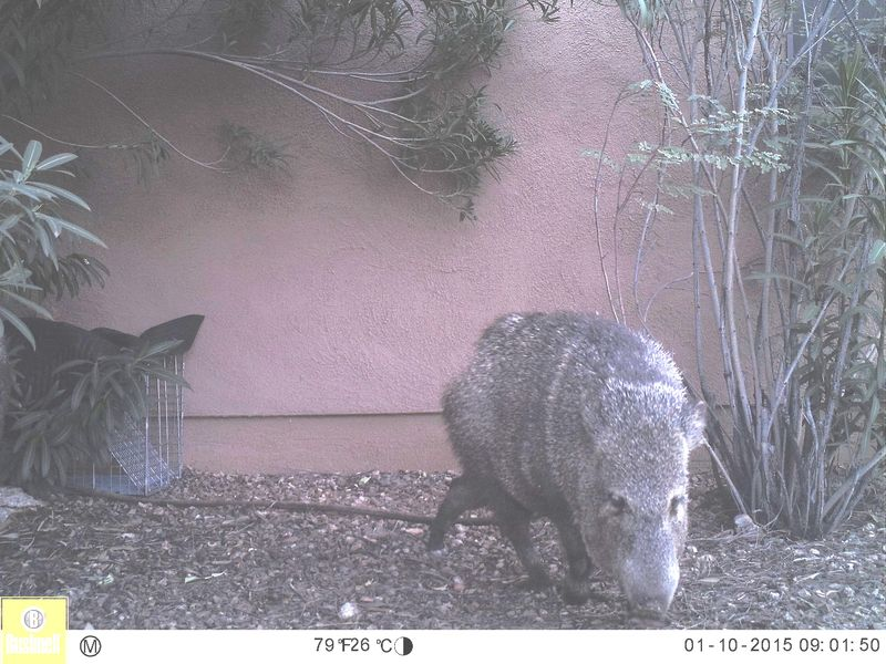Javelina has given up getting into a closed trap