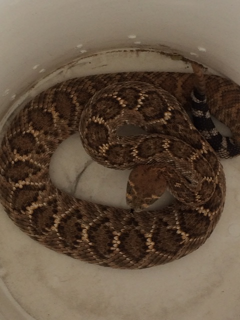Female rattler from garage customer garage after over wintering