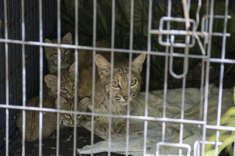May 16 close up of bobcat family in transfer cage
