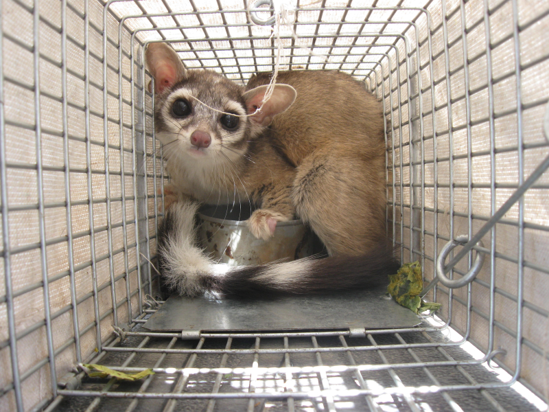 Ringtail in trap ready for release (2)