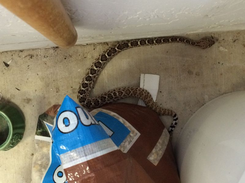 Yearling rattler wintering over in a garage by birdseed