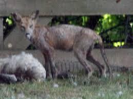 Chupacabra coyote