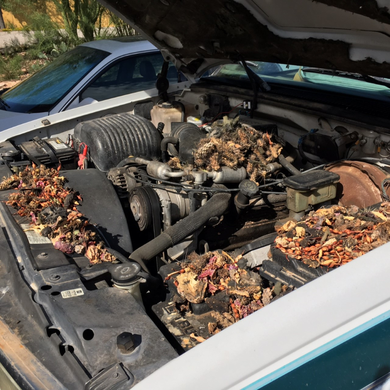Packrat nesting in vehicle that was not garaged
