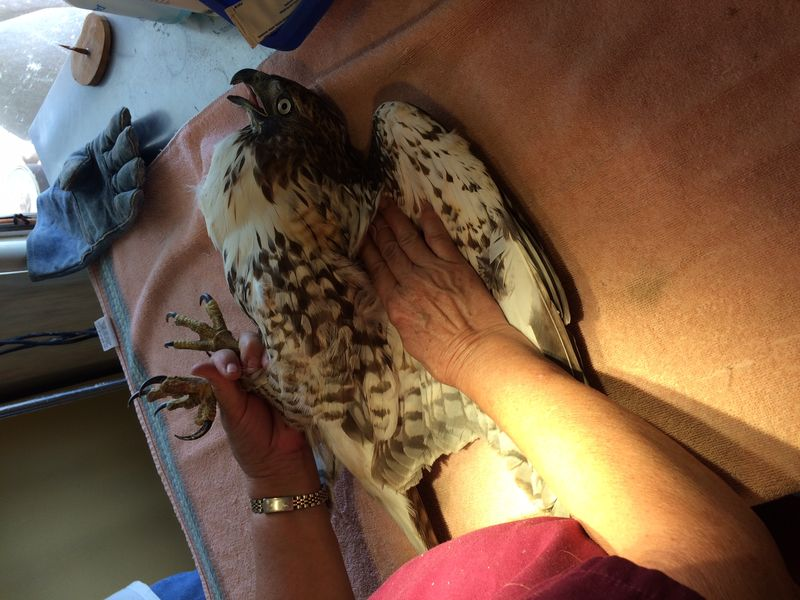 Rehabber Inspecting injured Red Tailed Hawk