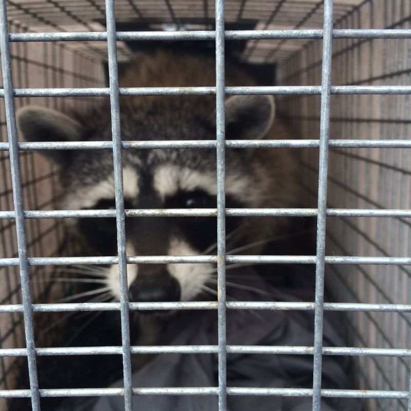 Raccoon - large male