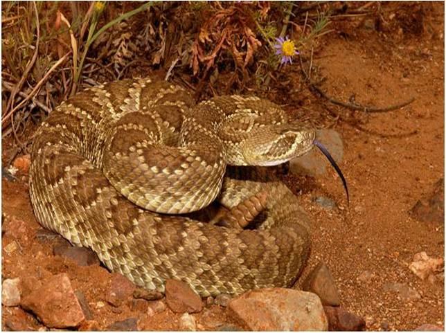 Mohave-Mojave Rattlesnake