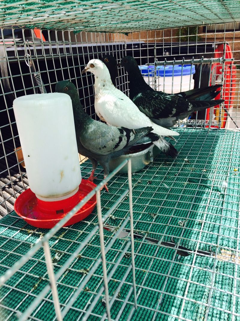 Pigeons in a humane trap with water and food