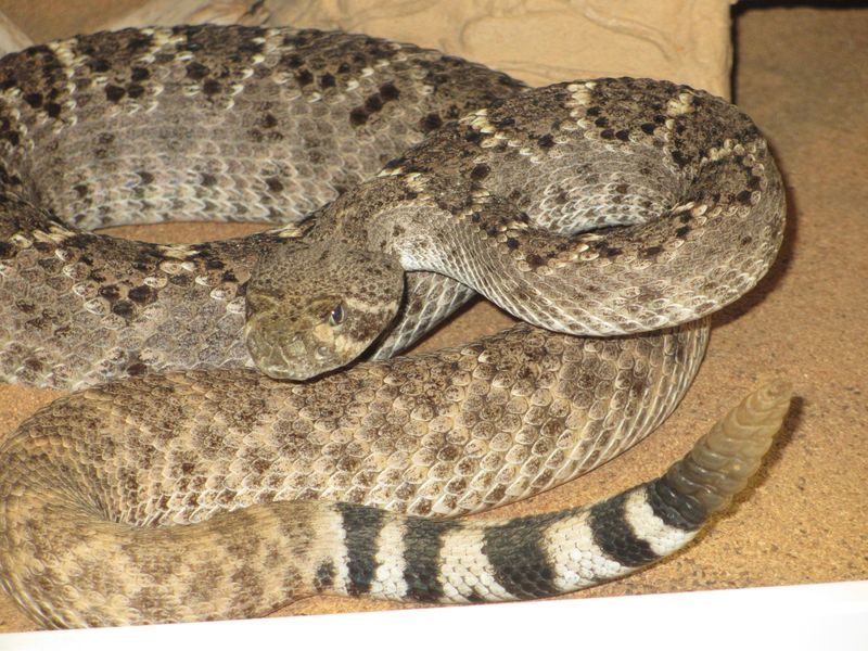 Western Diamondback Large