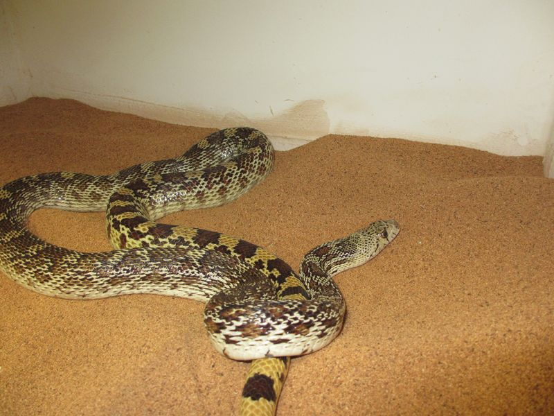 Gopher Snake 4 feet