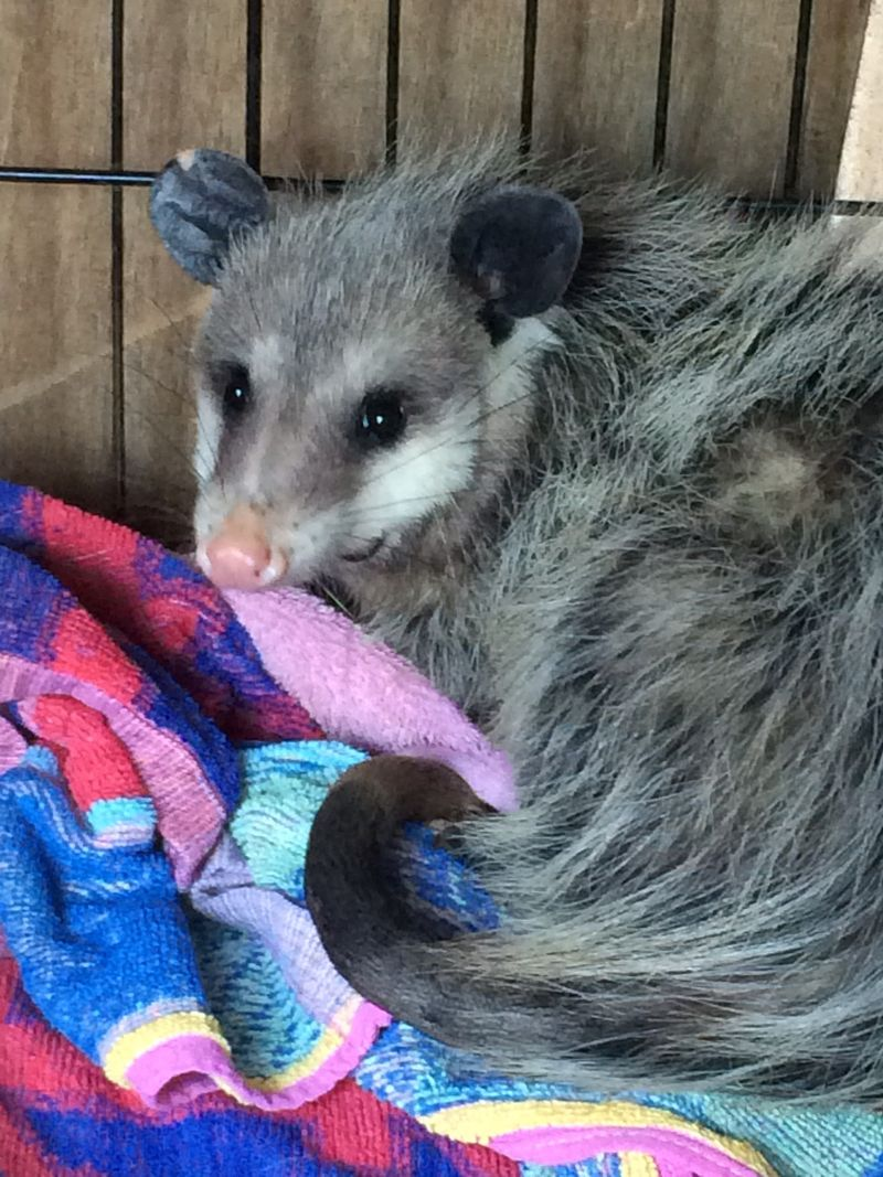 Opossum in Larger enclosure