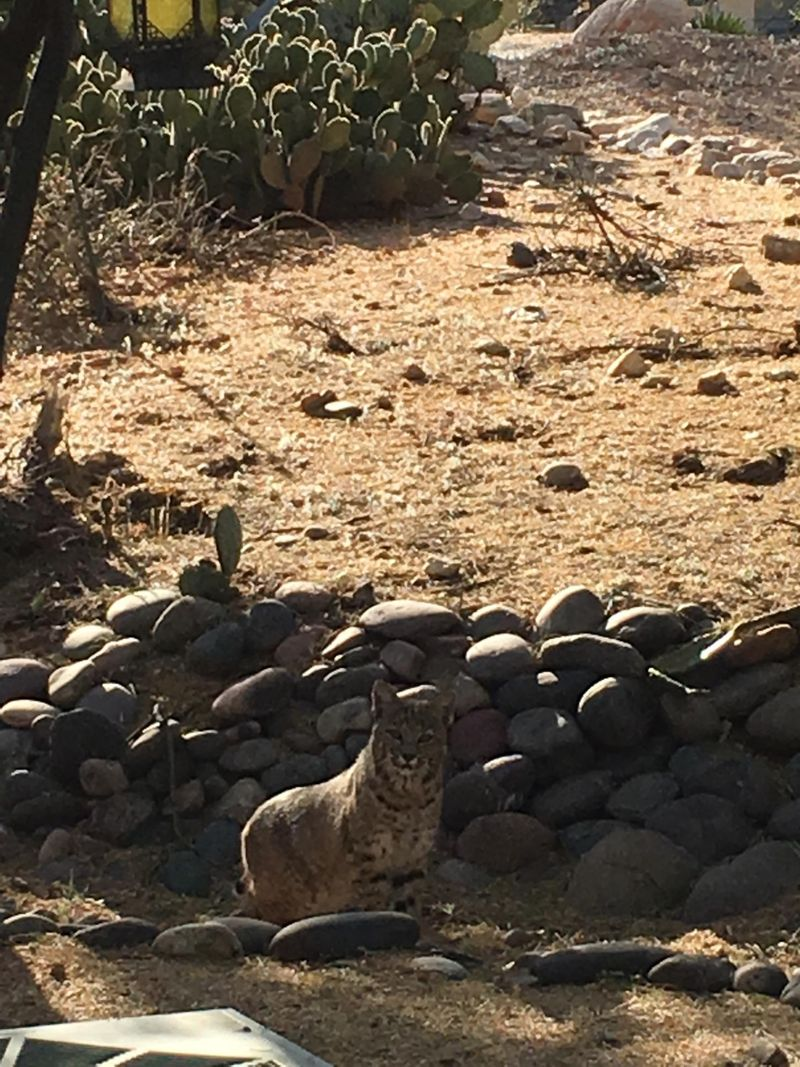 Bobcat sitting (2) at the edge of the desert