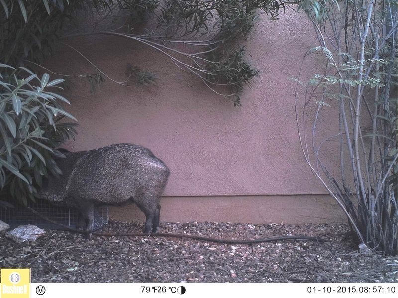 Javelina with its head under the trap cover