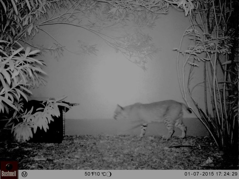 Bobcat entering trap 2-29-2016 edited to darken