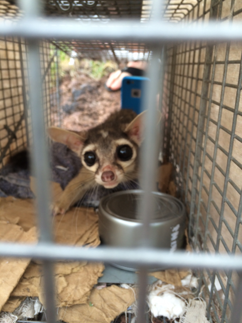 Female Ringtail about to be released